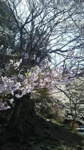 H30.4月のゆず�A.JPG
